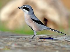 Alcaudón real (Lanius meridionalis) (51) (eb3alfmiguel) Tags: aves passeriformes insectívoros laniidae alcaudón real lanius meridionalis
