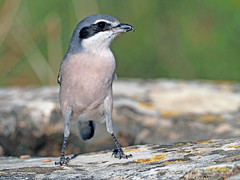 Alcaudón real (Lanius meridionalis) (21) (eb3alfmiguel) Tags: aves passeriformes insectívoros laniidae alcaudón real lanius meridionalis