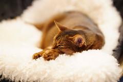 Sweet dreams (DizzieMizzieLizzie) Tags: dof bokeh golden classic pose ilce chat gatos neko pisica meow kot katze katt gatto gato feline cat portrait dizziemizzielizzie lizzie aby abyssinian sony a7iii ilce7m3 fe 85mm 14 gm a7m3 sel85f14gm sleeping dreaming sweet dream