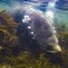 Diving Fur Seal