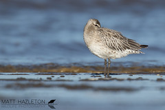 Bar-tailed godwit (Matt Hazleton) Tags: bartailedgodwit godwit wader beach shore shorebird sea sand coast bird wildlife nature animal outdoor canon canoneos7dmk2 canon100400mm eos 7dmk2 100400mm matthazleton matthazphoto limosalapponica rspb rspbtitchwellmarsh rspbtitchwell titchwell titchwellmarsh norfolk