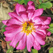 October:  tiny hoverfly on pink anemone