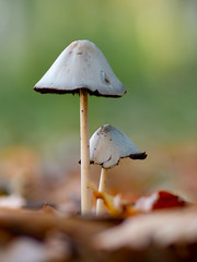 Big vs Samll (Gijs Peijs) Tags: autumn paddestoelen natuur netherlands nature macrophotography outdoor naturephotography paddestoel mushrooms herfst natureperfection earthoutdoors macro fall closeup detail mushroom earthcapture autumnvibes natuurfotografie igdiscoverholland macrofotografie macrofreaks macrogrammers