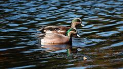 Mareca Americana (AVNativePlants) Tags: american wigeon bird waterfowl duck swimming males drakes nature wildlife birds pond