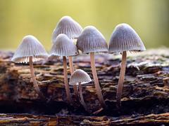 Happy Family (Gijs Peijs) Tags: autumn paddestoelen natuur mushroom nature macrophotography outdoor naturephotography fall mushrooms herfst autumnvibes macro fungus paddestoel natuurfotografie netherlands macrofotografie closeup detail