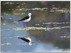(Bear Dale) Tags: whiteheaded stilt resting leg scientific name himantopus leucocephalus bird water estuary reflection nature naturephotography nikkor afs 200500mm f56e ed vr ulladulla southcoast new south wales shoalhaven australia beardale lakeconjola fotoworx milton nsw nikond850 photography framed nikon bear d850