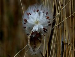Bursting Out (Diane Marshman) Tags: milkweed seed seeds white feathery light airy brown pod native perennial plant dried grass stalks fall autumn season pa pennsylvania state nature