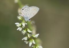 Ceraunus Blue (Christopher Lindsey) Tags: ceraunusblue california butterfly butterflies santimoteo sanbernardinocounty hemiargusceraunus