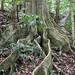 Blue Quandong (Elaeocarpus grandis)