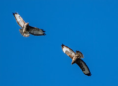 buzzards (chapman.mike) Tags: buzzard nikon nikkor 200500mm motepark flight wildlife birds d850