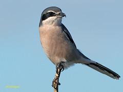 Alcaudón real (Lanius meridionalis) (78) (eb3alfmiguel) Tags: aves passeriformes insectívoros laniidae alcaudón real lanius meridionalis