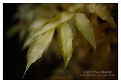 Leaves (ScudMonkey) Tags: copyrightc2019 paulbradley leaves helios 442 vintagelens soft autumn fall retro nature manualfocus canon 5dmkiv prestonpark