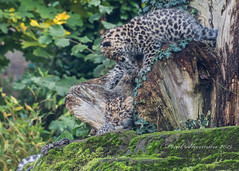 Mischief from above (muppet1970) Tags: colchesterzoo zoo amurleopard cubs cat bigcat stones moss cute endangered captive