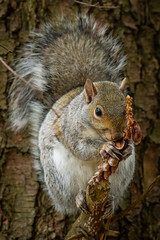 Morning Snack (scott5024) Tags: squirrel wildlife mammals pine cones eating furry cook county orland grassland nikon d500