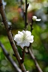 Shooting star. (John from Brisbane) Tags: japanesegarden mtcootthabotanicgardens cherryblossom whitecherryblossom