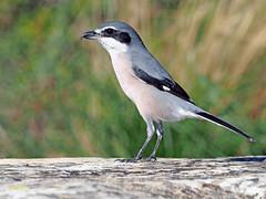 Alcaudón real (Lanius meridionalis) (71) (eb3alfmiguel) Tags: aves passeriformes insectívoros laniidae alcaudón real lanius meridionalis