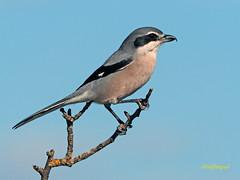 Alcaudón real (Lanius meridionalis) (61) (eb3alfmiguel) Tags: aves passeriformes insectívoros laniidae alcaudón real lanius meridionalis