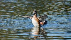 Mareca Americana II (AVNativePlants) Tags: wigeon wings spread american bird duck waterfowl pond swimming flapping nature wildlife
