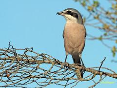 Alcaudón real (Lanius meridionalis) (41) (eb3alfmiguel) Tags: aves passeriformes insectívoros laniidae alcaudón real lanius meridionalis