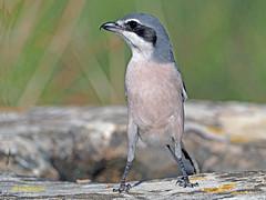 Alcaudón real (Lanius meridionalis) (31) (eb3alfmiguel) Tags: aves passeriformes insectívoros laniidae alcaudón real lanius meridionalis
