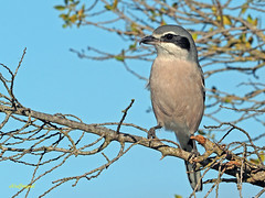 Alcaudón real (Lanius meridionalis) (11) (eb3alfmiguel) Tags: aves passeriformes insectívoros laniidae alcaudón real lanius meridionalis