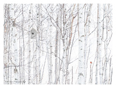 Winter Nest Box (Kath Salier) Tags: simple artograph birch wallart composite flickr bird sonya7rii snow kathsalier kimberley nestbox japan white