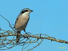 Alcaudón real (Lanius meridionalis) (1) (eb3alfmiguel) Tags: aves passeriformes insectívoros laniidae alcaudón real lanius meridionalis
