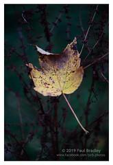 Leaf (ScudMonkey) Tags: copyrightc2019 paulbradley leaf autumn helios 442 vintagelens retro oldschool manualfocus nature canon 5dmkiv prestonpark