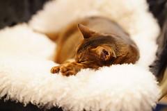 Sweet dreams (DizzieMizzieLizzie) Tags: dream sweet dreaming sleeping sel85f14gm a7m3 gm 14 85mm fe sony ilce7m3 a7iii abyssinian aby lizzie dizziemizzielizzie portrait cat feline gato gatto katt katze kot meow pisica neko gatos chat ilce pose classic golden bokeh dof