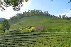 La plantation de thé Beoseong (Corée du sud)