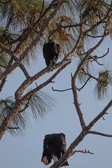 IMG_1815 (armadil) Tags: landingroad florida kenansville bird birds vulture vultures blackvulture blackvultures