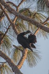 IMG_1828 (armadil) Tags: landingroad florida kenansville bird birds vulture vultures blackvulture blackvultures