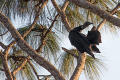 IMG_1829 (armadil) Tags: landingroad florida kenansville bird birds vulture vultures blackvulture blackvultures