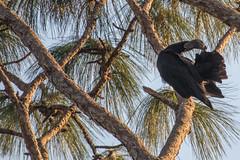 IMG_1830 (armadil) Tags: landingroad florida kenansville bird birds vulture vultures blackvulture blackvultures