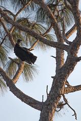 IMG_1832 (armadil) Tags: landingroad florida kenansville bird birds vulture vultures blackvulture blackvultures