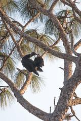 IMG_1836 (armadil) Tags: landingroad florida kenansville bird birds vulture vultures blackvulture blackvultures