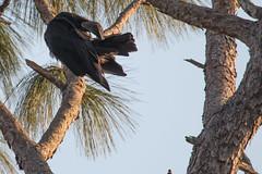 IMG_1843 (armadil) Tags: landingroad florida kenansville bird birds vulture vultures blackvulture blackvultures