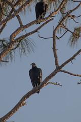 IMG_1841 (armadil) Tags: landingroad florida kenansville bird birds vulture vultures blackvulture blackvultures