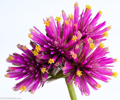 Gomphrena pulchella 'Fireworks' (Jim Frazier) Tags: 2019 amaranthaceae elgin fireworks gomphrenapulchella alienbees alienbees1600 autumn bloom blooming blossoming blossoms closeup deepdepthoffield detail edgewater fall flash flora floral flowering flowers focusstacking forbs frazier gardening gardens highkey home il illinois interior jimfraziercom kane kanecounty katesgarden loadcode201911 macro natural nature october ourhouse pink plants pocketwizard q4 setup sizeover1000 softbox stacked stilllife stobist strobes studio study tabletop texture tightcrop tofinishediting tosave whitebackground worldfamousfrazierstudio f10