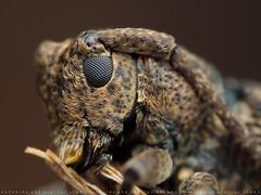 Longhorn beetle (天牛科) (Sapphire Ker) Tags: longhorn beetle macro olympus nature