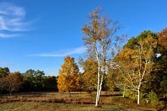 Paper Birch Tree (Piedmont Fossil) Tags: quabbin reservoir massachusetts autumn fall leaves color tree