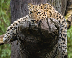 Liquid Leopard (Penny Hyde) Tags: amurleopard bigcat leopard sandiegozoo
