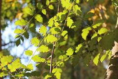 Καλημέρα! ~ Good morning! :-) (Argyro Poursanidou) Tags: leaf leaves foliage green colorful nature light sunlight autumn φύση φθινόπωρο φύλλα πράσινο