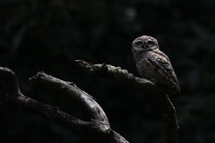 Spotted Owlet (Ian Hearn Photography) Tags: spotted owl owlet athene brama nikon d500 nikkor birds nepal kathmandu ranibari community forest reserve 200500 owls owlets spotlight shadows sitting brach dimly lit with shadow sunlight ian hearn wwwianhearncom wildlife ianhearncom wild life city reserves conservation young photographer birders bird birding watching photography 17 yrs years old rani bari asia south central indian sub continent