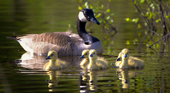 Goslings (RWGrennan) Tags: east chatham ny new york gosling canadian goose hand hollow conservation area bird water reflection upstate nys columbia county nikon d610 tamron 150600 nature wildlife outdoors wild pond lake