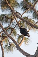 IMG_1816 (armadil) Tags: landingroad florida kenansville bird birds vulture vultures blackvulture blackvultures