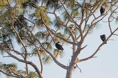 IMG_1820 (armadil) Tags: landingroad florida kenansville bird birds vulture vultures blackvulture blackvultures