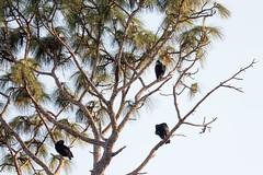IMG_1818 (armadil) Tags: landingroad florida kenansville bird birds vulture vultures blackvulture blackvultures