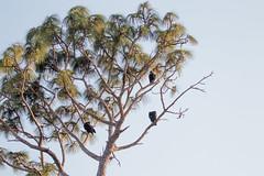 IMG_1821 (armadil) Tags: landingroad florida kenansville bird birds vulture vultures blackvulture blackvultures