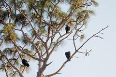 IMG_1825 (armadil) Tags: landingroad florida kenansville bird birds vulture vultures blackvulture blackvultures